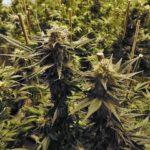 Vaporizer Temperatur - Cannabis