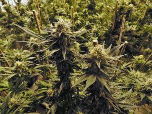 Cannabis Verdampfen